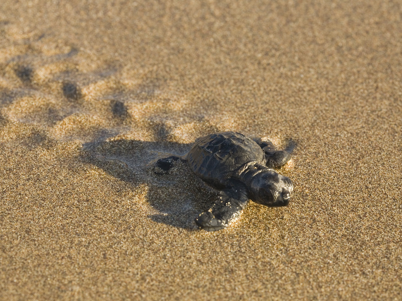 Cute baby sea turtles in the water - photo#27
